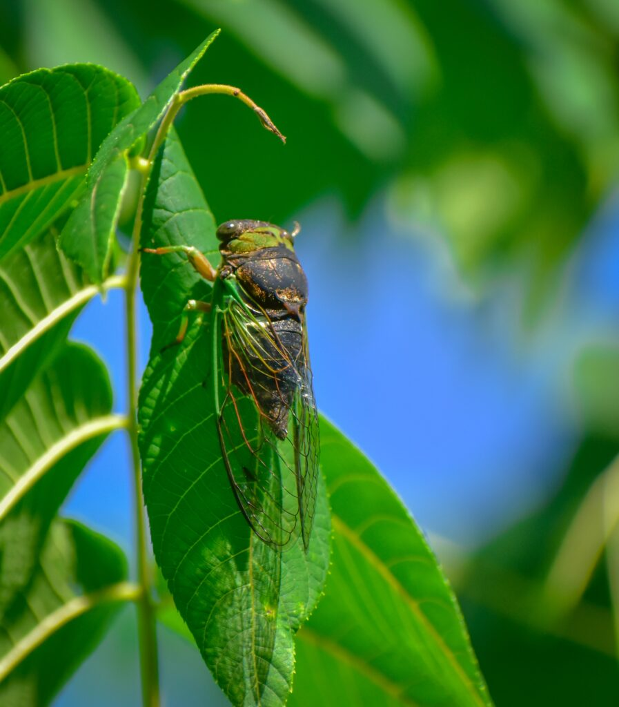 Cicadas are usually found on plants.
